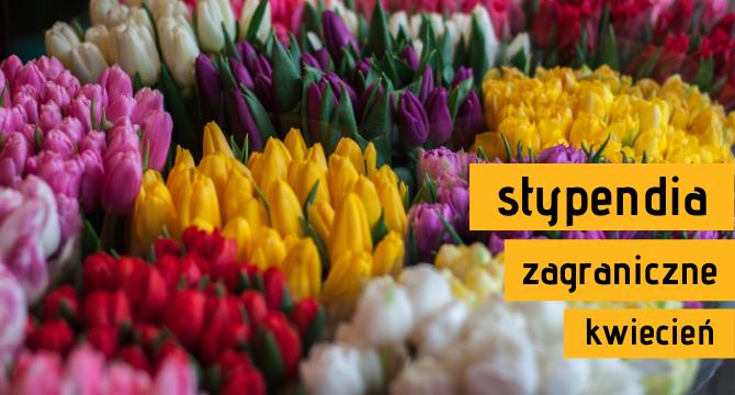 tulipany ilustrujące artykuł o stypendia zagraniczne - kwiecień 2021